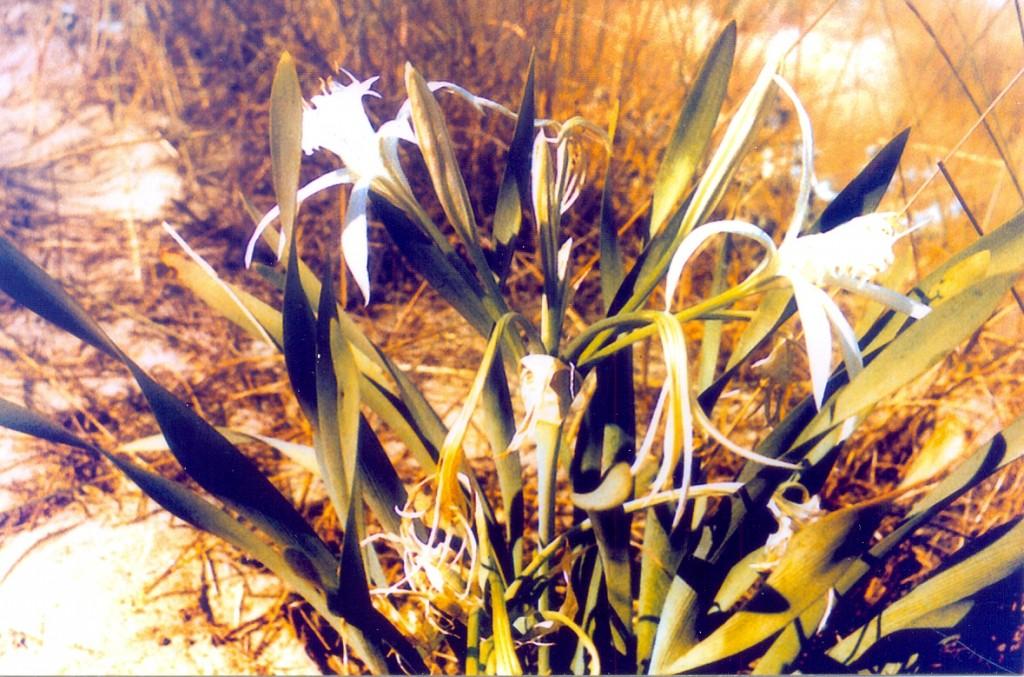 пясъчна лилия в Иракли